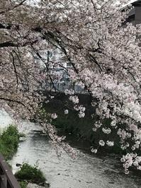 天神川さくら.JPG