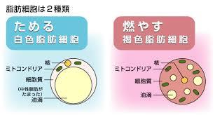 褐色脂肪細胞2.jpg