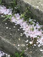 道桜.JPG